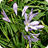 Agapanthus 'Winter Dwarf'