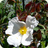 Cistus 'Little Gem'