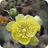 Opuntia pusilla - gold spined form